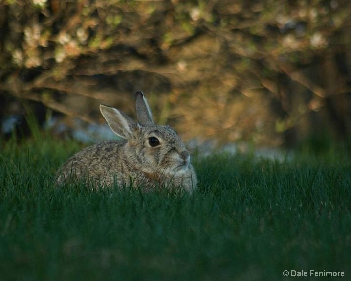 Yard Rabbit