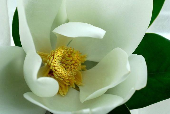 Magnolia [2]
