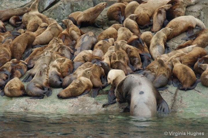 Harbor Seal Large