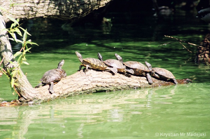 Turtles Central Park NYC in USA