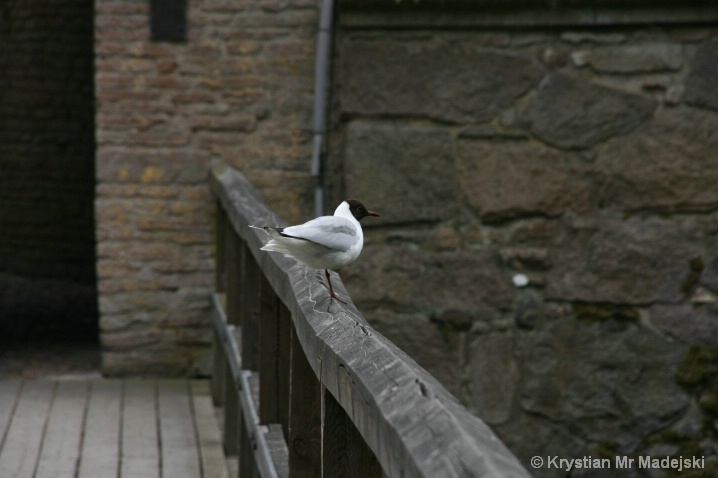 Kalmar's bird - Sweden