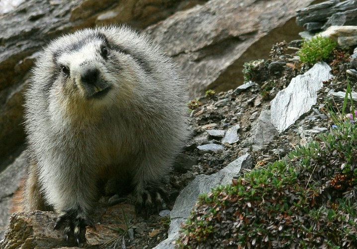 Marmot Faceoff