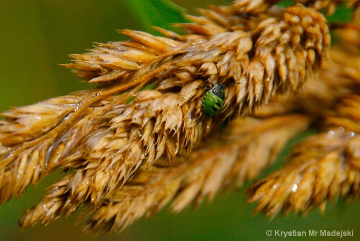 Beetle on the grass blade-head