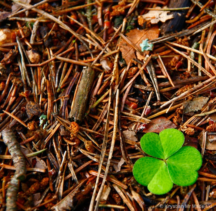 Clover on the forest bed