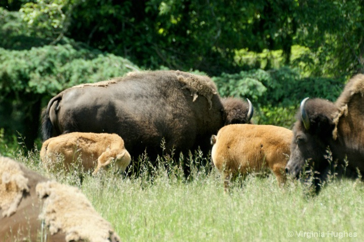 Bison At Trek Adventure  Park