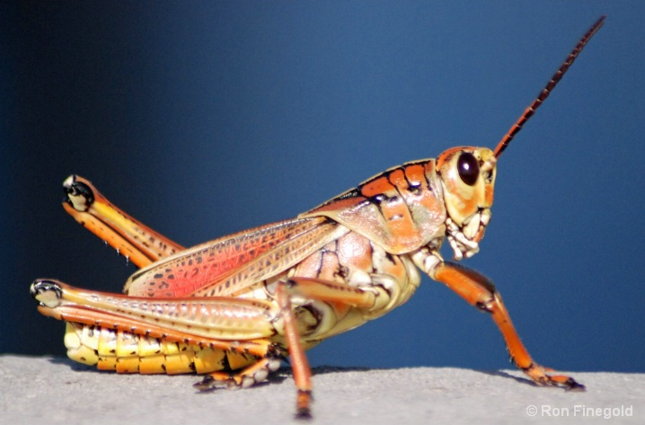 Alien Invader...Lubbar Grasshopper