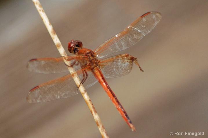 Scarlet Skimmer Dragonfly w/ broken wing