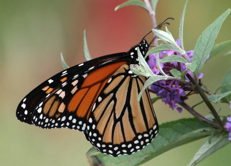Visiting Monarch