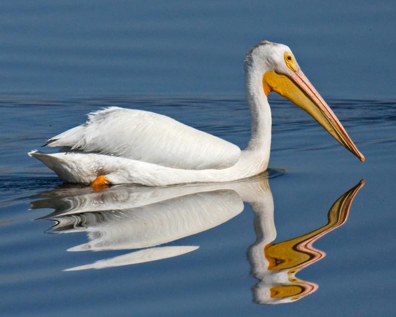 Daliesque Pelican