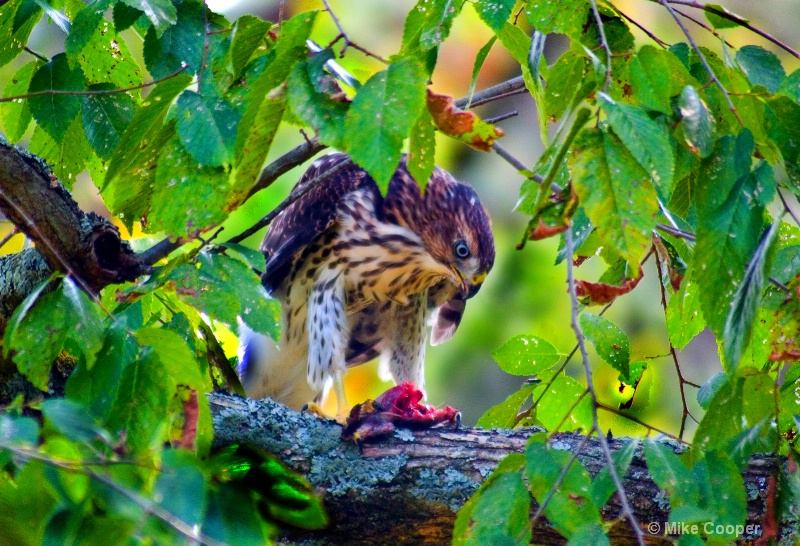 Hawk Having Dinner
