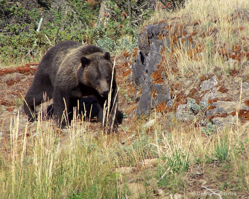 Yellowstone Brown Bear