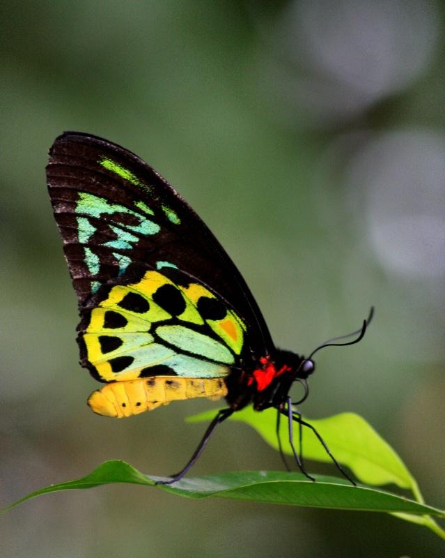 Karunda Rainforest Butterfly