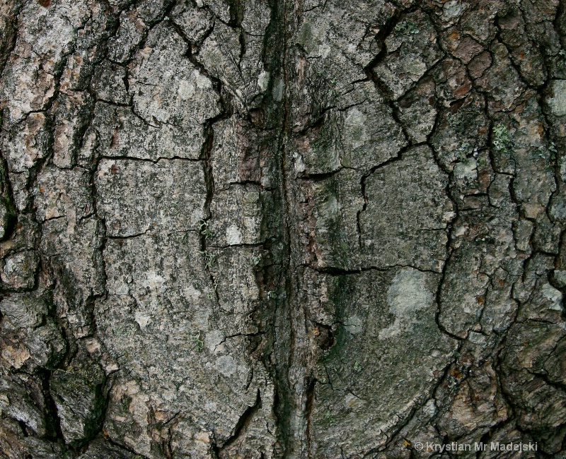 Bark of the poplar
