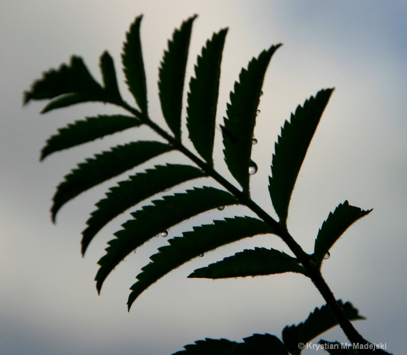 Leaf of the rowan