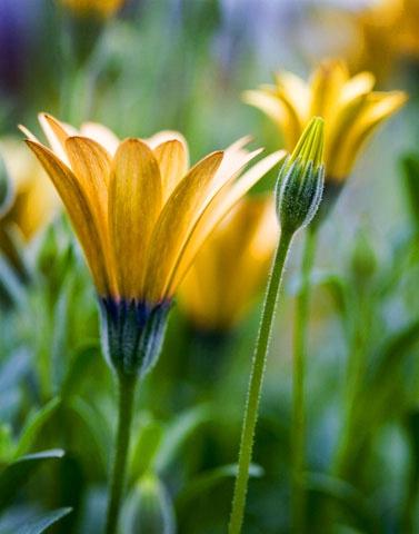 daisy-encanitas