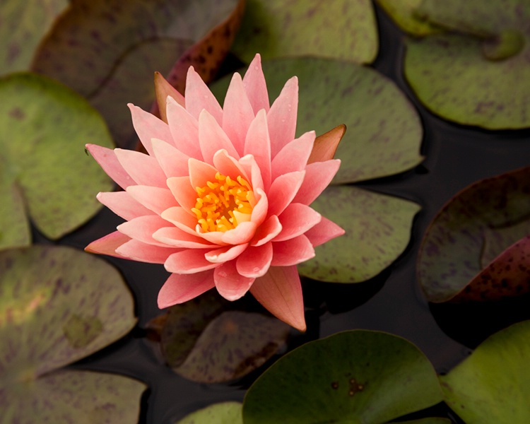 005waterlilies