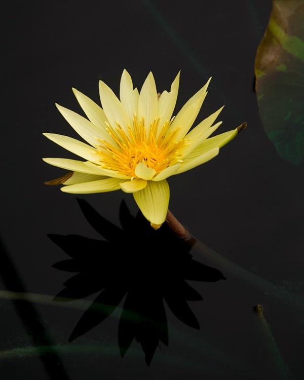 009waterlilies