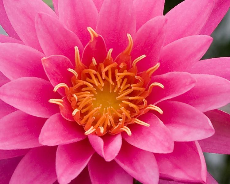 012waterlilies