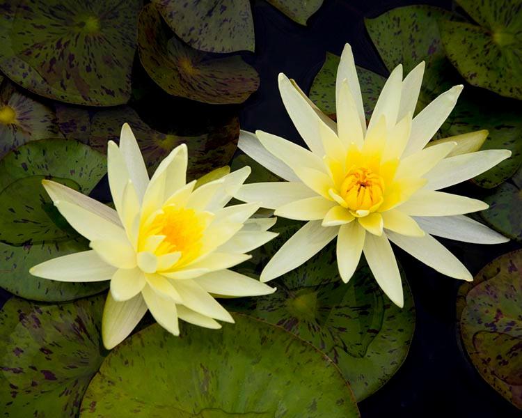 014waterlilies