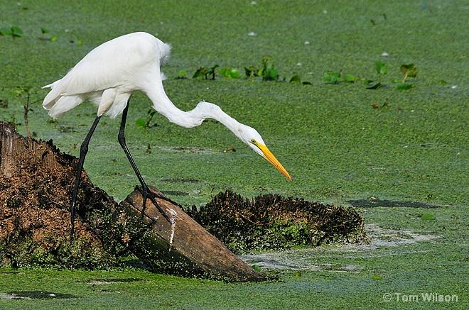 Poised Egret
