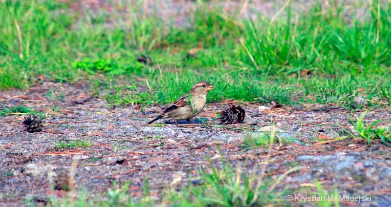 Sparrow with a cone