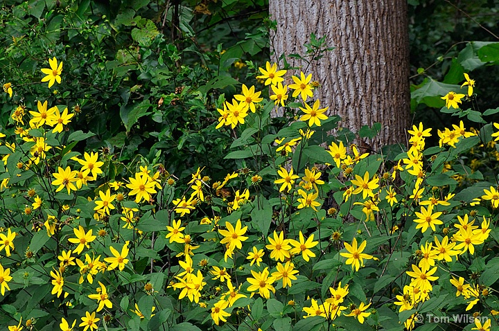 Yellow Daisies and Poplar