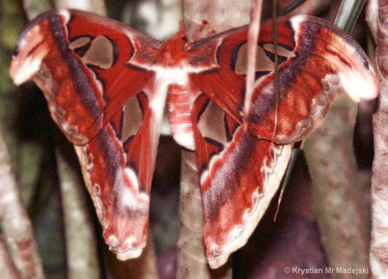 Cobra butterfly difuse glow