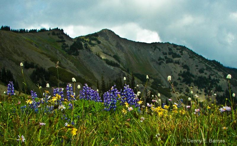 Olympic Flowers, Hurricane Ridge- WA