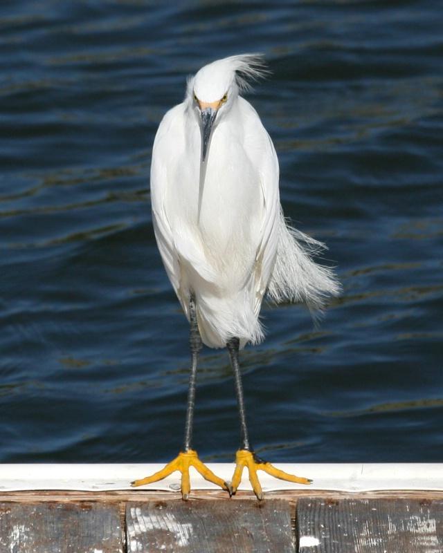 Shy Egret