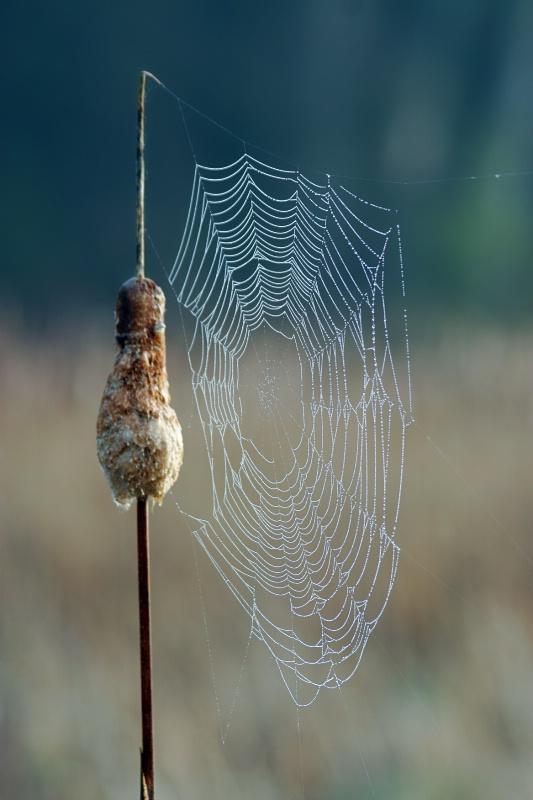 Cattail web