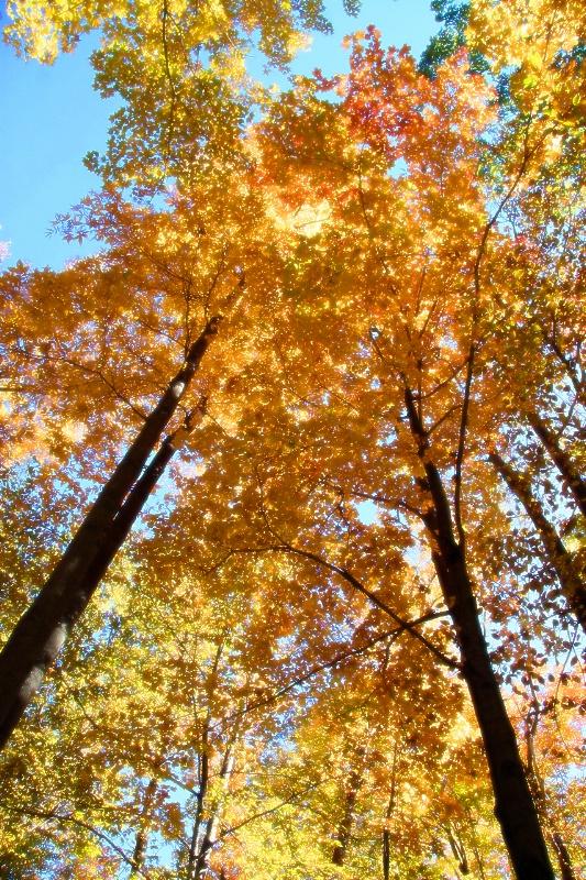 Skyward maples