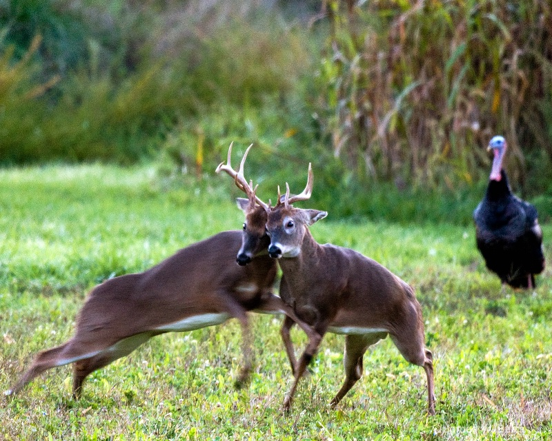 Buck Fight