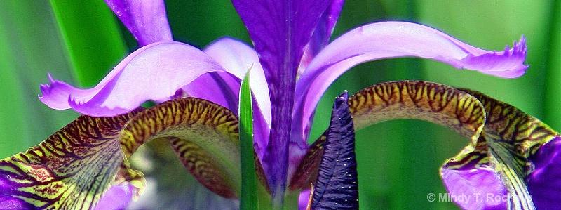 Siberian Iris Wings