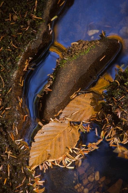 fallen-beech-leaves-and--hemlo