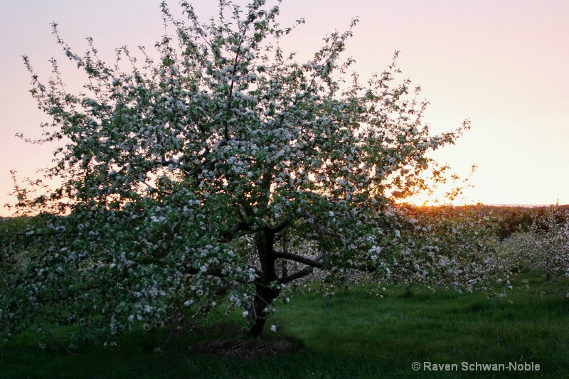 Apple Blossom Sunset