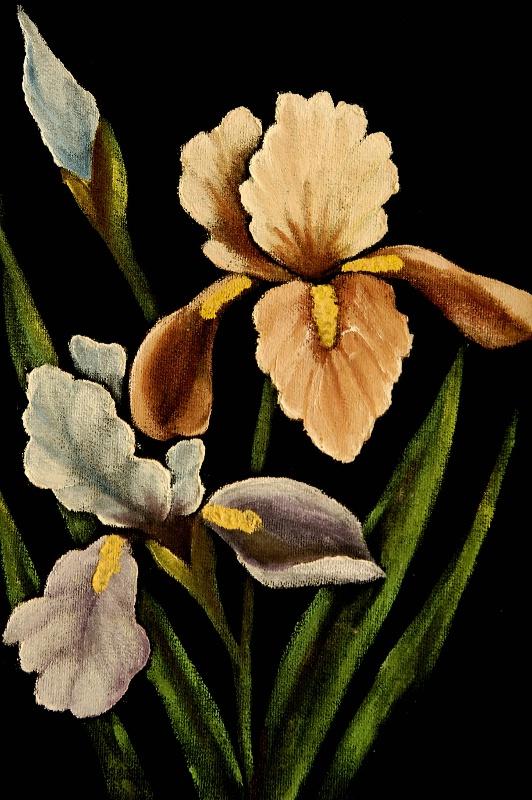Iris on Velvet