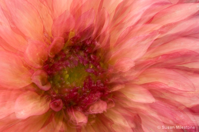 Dahlia Multiple Exposure & Image Overlay