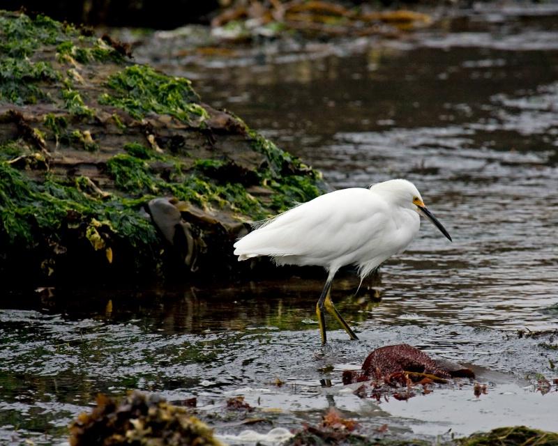 Point Lobos Snowy Egret