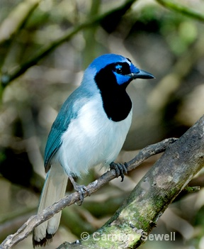 """Blue"" Green Jay"
