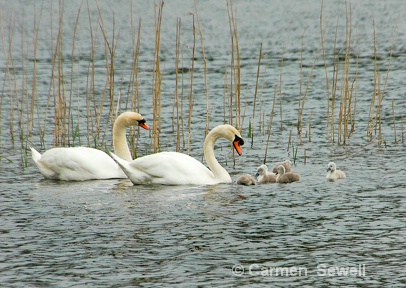 Trumpeter Swans with Cygnets