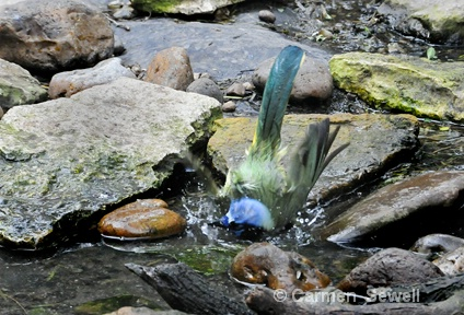 Green Jay at the Bath