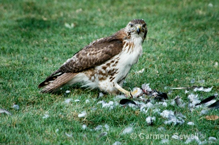 Juvenile Broad Shouldered Hawk with Prey 2