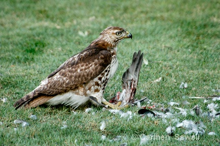 Juvenile Broad Shouldered Hawk with Prey 1