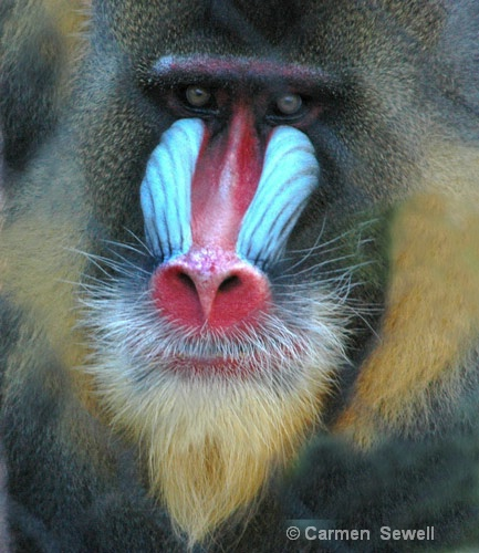 Mandrill Male