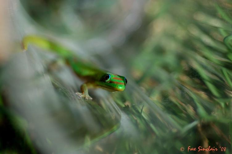 Gecko Rescue 3