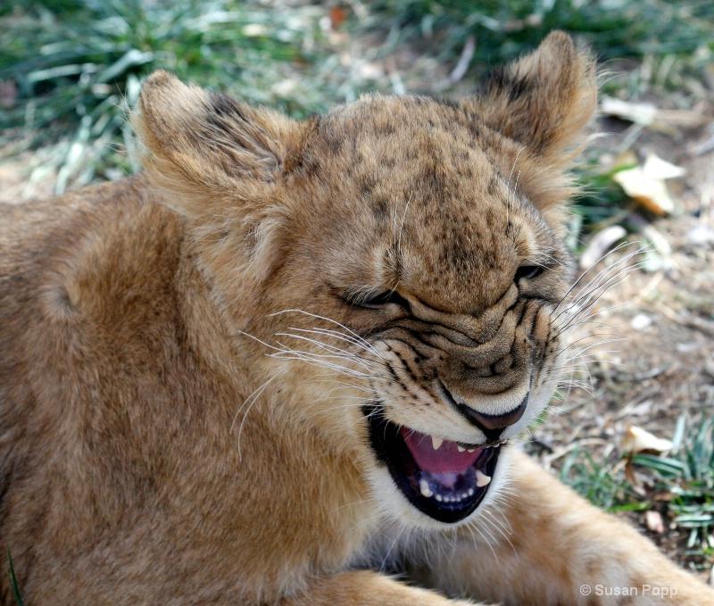 Wrinked roar