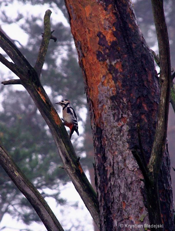 Woodpecker in the fog crosshatch