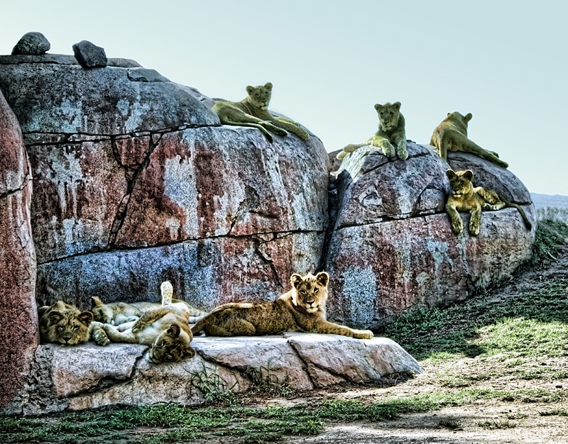 Birthday Lion Cubs...