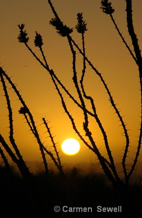Sunset with Ocotillo Cactus