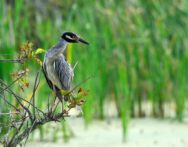 Yellow-crowned Night-Heron cool pose